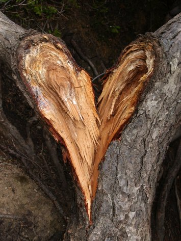 broken tree heart